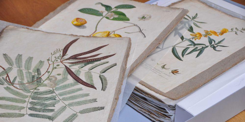Rund 300 Jahre alt: Die Pflanzenbilder aus der Sammlung des Naturmuseums. Foto Eliane Huber