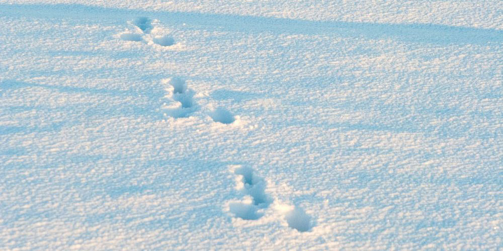 Spur des Feldhasen im Schnee. Bild zVg
