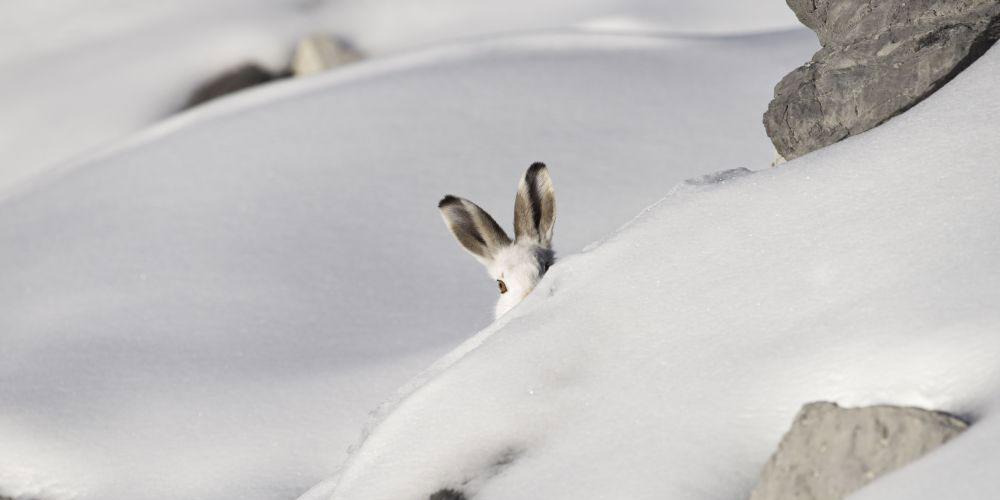 Schneehase in Winterlandschaft. Foto: Marcel Castelli