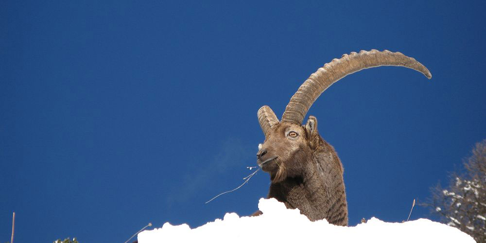 Der Alpensteinbock ist ein Überwinterungskünstler. Foto Claudio Signer