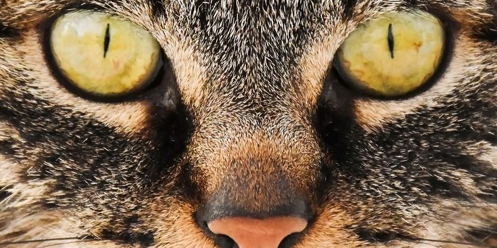 Die Hauskatze, das beliebteste Haustier der Schweiz. Foto Naturmuseum Thurgau